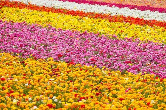 Cánh đồng hoa Mao Lương ở San Diego, Mỹ