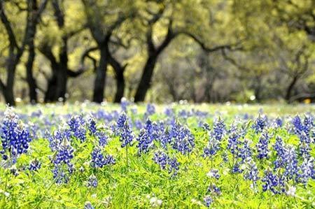 Cánh đồng hoa mũ len Texas