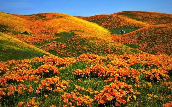 Đồi hoa Poppy ở tiểu bang California, Mỹ